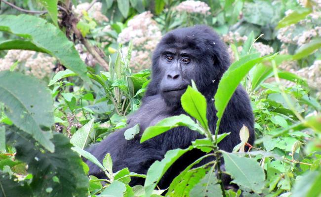 Uganda - tropami goryli